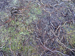 , 2018 Nov 01 (Dunnock_D) Tags: britain gb highland highlands scotland uk uath unitedkingdom forest grass green ground roots texture trees woodland woods kingussie