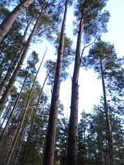 , 2018 Nov 01 (Dunnock_D) Tags: britain gb highland highlands scotland uk uath unitedkingdom blue blur blurred clouds forest redsquirrel sky squirrel tree trees white woodland woods kingussie
