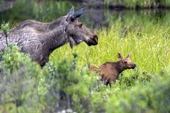 6.15.19 500_7434 (*Ron Day*) Tags: wildlife moose cow calf alaska spring nikon d500 200500