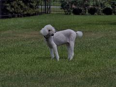 P6141469 -2C100 (hyphy2008) Tags: zeiss 135mm f40 rangefinderlens standardpoodle summerhaircut pet dog