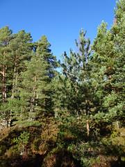 , 2018 Nov 01 (Dunnock_D) Tags: britain gb highland highlands scotland uk uath unitedkingdom blue clouds forest grass green sky trees white woodland woods kingussie