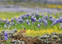 Horned Lark on Table Mountain, Oroville. (Ruby 2417) Tags: horned lark bird wildlife nature spring wildflowers flowers superbloom bloom table mountain oroville