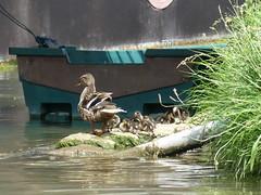 Cane et canetons, duck and ducklings: Bords de Seine, Melun (delphinecingal) Tags: seine melun ducks canard cane canetons ducklings