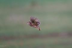 project 2019 little owl (eric-d at gmx.net) Tags: littleowl athenenoctua