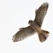 Flight series - Kestrel #3