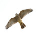 Flight series - Kestrel #5