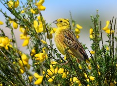 Escrevedeira-amarela / Yellowhammer (anacm.silva) Tags: escrevedeiraamarela yellowhammer ave bird wild wildlife nature natureza naturaleza birds aves escrevedeira gerês parquenacionaldapenedagerês penedagerêsnationalpark pitõesdasjúnias portugal
