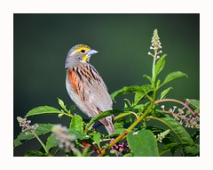 Dickcissel (George McHenry Photography) Tags: birds songbirds dickcissel southcarolinabirds southcarolina