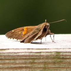Moth? (blazer8696) Tags: 2019 brookfield ct connecticut ecw hdr img895123balanced obtusehill t2019 tabledeck usa unitedstates moth