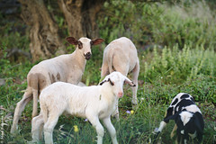 Playful Sheep on Areopoli-Kalamata Road (acritely) Tags: greece ελλάδα griechenland 2019 europe travel summer roadside road trip goats sheep livestock domestic greek crossing traffic block rural