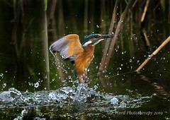Rising from the water (Ade Ward Phototherapy.) Tags: phototherapy nikon actionshot wales cardiff britishbirds forestfarm inflight feeding wildlife nature bird kingfisher