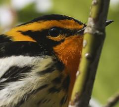 Blackburnian Warbler (MTEBG99) Tags: blackburnianwarbler warbler canon canon80d canon100400 bird birding naturephotography wildlifephotography wildlife