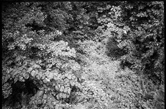 looking straight down from cabin porch, tree forms, Lakey Gap Heights, Black Mountain, NC, Olympus XA, Foma Retropan 320, HC-110 developer, 6.10.19 (steve aimone) Tags: lookingdown treetops branches leaves lakeygapheights blackmountain northcarolina olympusxa fomaretropan320 hc110developer compactcamera rangefinder 35mm 35mmfilm film landscape