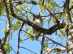 Great Horned Owl (pamfromcalgary) Tags: bird birdofprey owl greathornedowl fishcreekpark