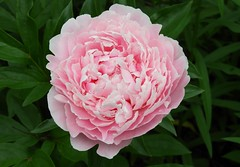 Pink (Ƹ̴Ӂ̴Ʒ Liz Ƹ̴Ӂ̴Ʒ) Tags: macromondays layers peonies peony flower flor macro close up green leaf smileonsaturday pink thinkpink