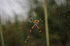 Argiope argentata (Diego_Valdivia) Tags: argiope argentata araña plateada calaverita spider pantano villa marsh lima peru canon eos 60d