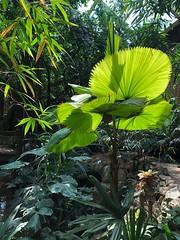 (weilandsteven) Tags: tropisch licht sonne palmenblätter palmengarten