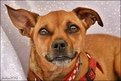 ~~Je lis dans tes yeux...~~ (Joélisa) Tags: juin2019 lily portrait yeux chien dog