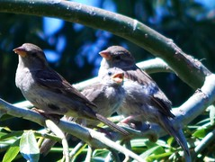 Fledgling with Parents (starmist1) Tags: fledgling bird family parents tree willowtree branch limb twig perch spring clear hot sunny backyard