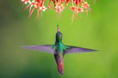 hummingbird + (Mustafa Kasapoglu) Tags: hummingbird birds birdphotography birdwatching bird birding nature costarica