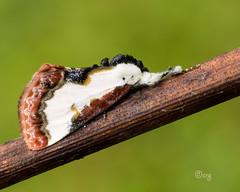 pearly wood nymph (crgillette77) Tags: pennsylvania bradfordcounty moth pearlywoodnymph eudryasunio grape birddropping mimicry