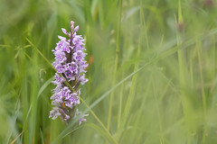 Common Spotted Orchid (samueledwardhyde) Tags: common spotted orchid flower colourful green