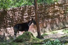 長い舌 (yuki_alm_misa) Tags: 動物園 ロサンゼルス動物園 オカピ lazoo losangeleszoo okapi animal