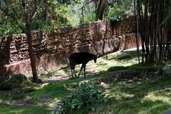 木々の中に居たら見つけにくいかな。 (yuki_alm_misa) Tags: 動物園 ロサンゼルス動物園 オカピ lazoo losangeleszoo okapi animal