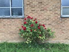 (Steve Bowbrick) Tags: church wall plant flower rose borehamwood standrew unitedreformed methodist ayclifferoad abandoned closed chapel