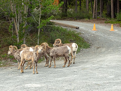 untitled (55 of 94).jpg (jester821) Tags: familyvacation canadianrockies canada sheep wildlife bighorn icefieldparkway