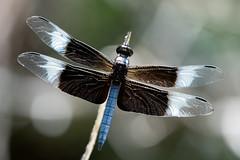Widow skimmer (jim_mcculloch) Tags: dsc7017 dragonflies