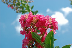 Pink Crepe Myrtle And Sky. (dccradio) Tags: lumberton nc northcarolina robesoncounty outdoor outdoors outside nature natural flower flowers flowering floweringtree floral floweringbush tree greenery leaf leaves plant bloom blooming blossom blossoming blossoms summer summertime june sunday weekend goodafternoon sundayafternoon crapemyrtle crepemyrtle nikon d40 dslr sky bluesky clouds