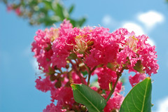 Pink Crepe Myrtle Blossoms. (dccradio) Tags: lumberton nc northcarolina robesoncounty outdoor outdoors outside nature natural flower flowers flowering floweringtree floral floweringbush tree greenery leaf leaves plant bloom blooming blossom blossoming blossoms summer summertime june sunday weekend goodafternoon sundayafternoon crapemyrtle crepemyrtle nikon d40 dslr sky bluesky clouds