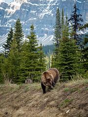 untitled (63 of 94).jpg (jester821) Tags: familyvacation canadianrockies canada cub jasper wildlife banff grizzlybear icefieldparkway
