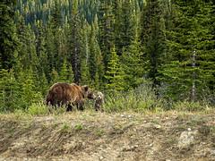 untitled (66 of 94).jpg (jester821) Tags: familyvacation canadianrockies canada cub jasper wildlife banff grizzlybear icefieldparkway