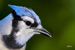 Blue Jay (jt893x) Tags: 150600mm bird bluejay cyanocittacristata d500 jay jt893x nikon nikond500 portrait sigma sigma150600mmf563dgoshsms coth5 coth alittlebeauty sunrays5 g