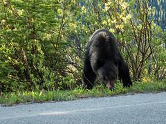 untitled (70 of 94).jpg (jester821) Tags: familyvacation canadianrockies wildlife blackbear morainelakeroad