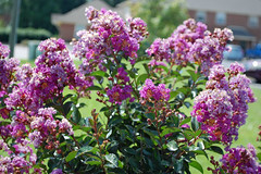 Purple Blossoms On A Crepe Myrtle. (dccradio) Tags: lumberton nc northcarolina robesoncounty outdoor outdoors outside nature natural flower flowers flowering floweringtree floral floweringbush tree greenery leaf leaves plant bloom blooming blossom blossoming blossoms summer summertime june sunday weekend goodafternoon sundayafternoon crapemyrtle crepemyrtle nikon d40 dslr