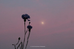 166/365 - Pink mood... (Sinuhé Bravo Photography) Tags: canon eos7dmarkii flowers moon summernight pinksky highiso