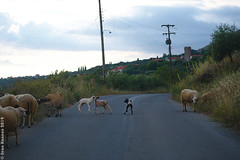Playful Sheep on Areopoli-Kalamata Road (acritely) Tags: greece ελλάδα griechenland 2019 europe travel summer roadside road trip goats sheep livestock domestic greek crossing traffic block rural jump young