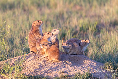 Prairie dog family in the early morning light
