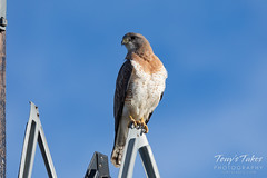 Swainson's hawk hanging out