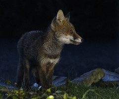 """The youngest (Vab2009) Tags: """"vulpesvulpes"""" fox wild cub juvenile night light youngster rural mammal"""
