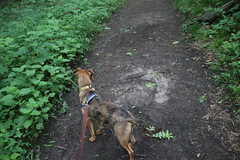 Runyon's First Visit to Maybury State Park (Northville, Michigan) - June 15th, 2019 (cseeman) Tags: parks stateparks michiganstateparks departmentofnaturalresources michigandepartmentofnaturalresources northville michigan maybury mayburystatepark trees trails paths nature publicparks wildlife mayburyjunel2019 dogs pets runyon06152019 puppy puppies dog dogbranddog mixedbreed brown young rescuedogs catahoula catahoulamix catahoulaleopardmix runyonsadventures