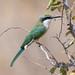 Somali bee-eater