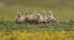 Prairie Dog Family Portrait...Can you find all 13? (Pragmatic1111) Tags: oklahoma rodent fur cute adorable portrait nature mammal flowers yellow blackeyedsusan nikon d500 bokeh blacktailedprairiedog wildoklahoma bestofwildoklahoma2019