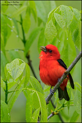Scarlet Tanager (Piranga olivacea) (Glenn Bartley - www.glennbartley.com) Tags: britishcolombia animal animalia animals animalsinthewild aves avian beautyinnature bird birdwatching birds glennbartley northamerica photography canada wildlife ontario scarlettanagerpirangaolivacea