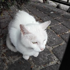 Biały kot (Natalia Julia Nowak) Tags: cat cats kot koty białykot bialykot biały bialy white whitecat whitecats pet pets animal animals
