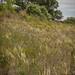 Porcupine Grass