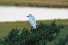 """Its a big world out there."" (Beangrau) Tags: littleblueheron heron shorebird bird oceancitynewjersey welcomecenter nikon500 tamron184000mm"